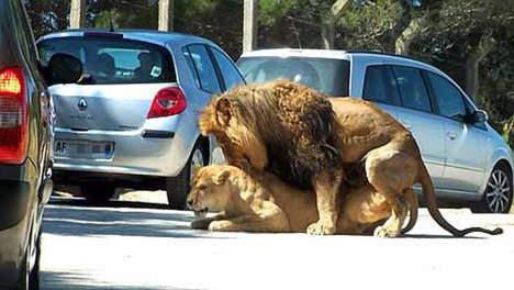 NEUKENDE leeuwen, VRIJDENDE leeuwen