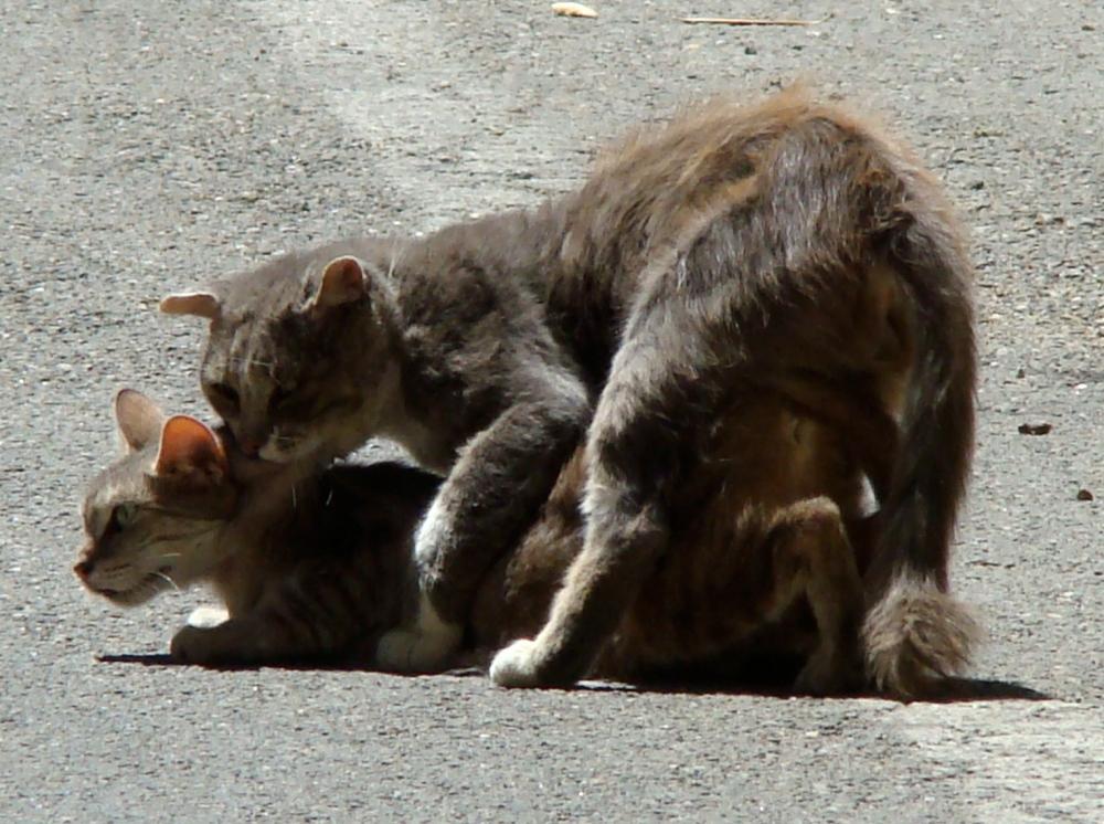 Parende+katten,PARENDE.NEUKENDE katten, VRIJDENDE katten