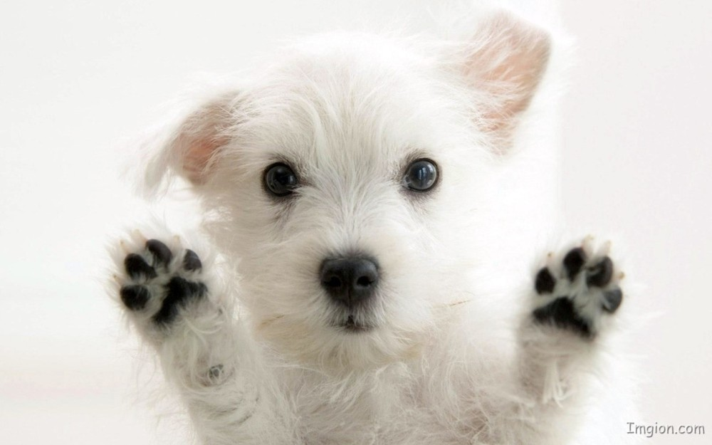 White-Cute-Puppy,https://lagriffeblog.files.wordpress.com/2015/01/images-75.jpeg