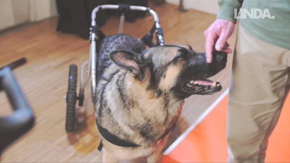 honden in invalidewagen, hond met handicap, honden zonder poten, gehandicapte honden,zieke en zielige hondjes