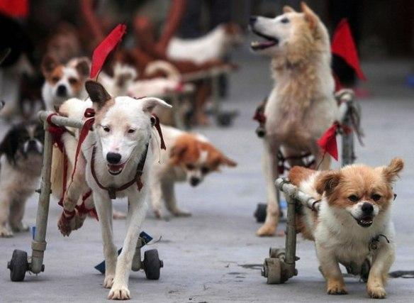 honden in invalidewagen, hond met handicap, honden zonder poten, gehandicapte honden,zieke en zielige hondjes, race van gehandicapte honden,