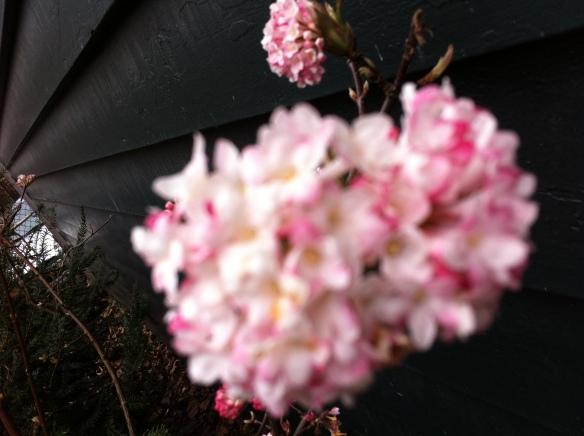 lente, bloeiende heesters, bloesem, eerste knoppen gaan open