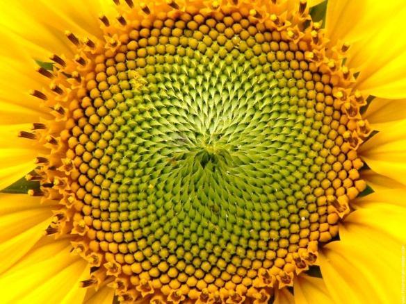 zonnebloem,HEILIGE GEOMETRIE, FLOWER OF LIFE, GEOMETRIE VAN DE SCHEPPING, MERKABA,