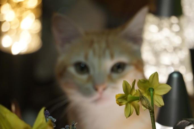 rode poes, bloemen, narcissen, blauwe druifjes, lampen, kat