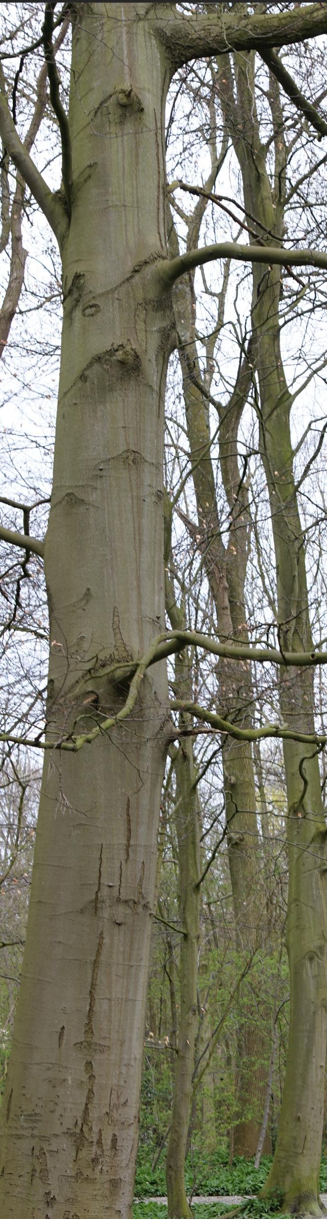 beukenboom, Leidse Hout