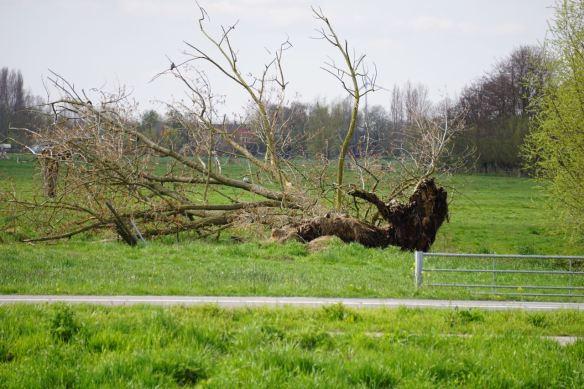 gevallen boom1