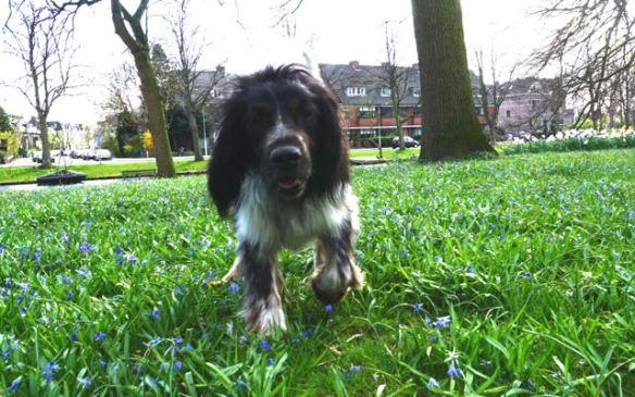 hondje tussen bloemen, jachthond, blauwe bloemen, bolletjes, voorjaar, plantsoen