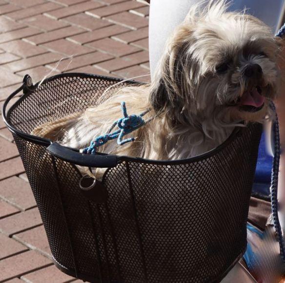 Piepklein hondje in fietsmand, hond in mandje, klein hondje, terrier, schots whisky hondje