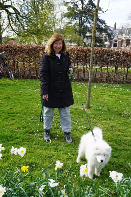 poolhond,Samojeed, puppie, pup, jonge hond, bolletje wol op poten, spierwit hondje