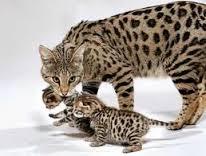 Savannah cat, grootste kat, huisdier, enorme kat