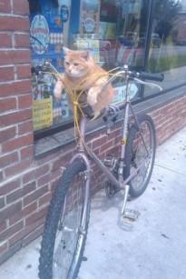 kat op fiets, katten wielrennen , fietsende kat