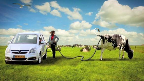 metaangas, koeienscheten, auto's rijden op koeienscheten