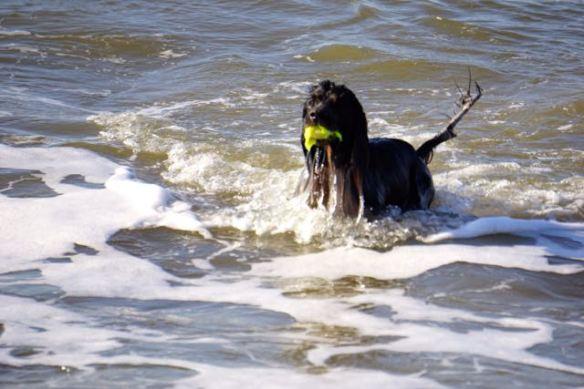 hondje in zee, spelen met bal, strand, branding, hond, jachthond aan het werk